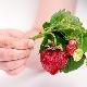 Почему твердеют ягоды клубники и что делать?