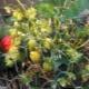 Почему ягоды клубники не краснеют, а твердеют и что с этим делать?