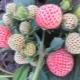 Почему ягоды клубники не наливаются и что делать?