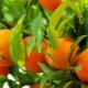 Польза и вред апельсинов для здоровья