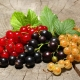 Польза и вред смородины для здоровья