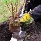 Правила и особенности посадки крыжовника осенью