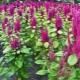 Семена амаранта: польза, вред и советы по применению