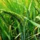 Сорта озимого ячменя и их выращивание