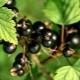 Виды и лучшие сорта черной смородины