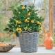 Выращивание цитрусовых комнатных растений