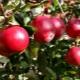 Яблоня «Красное ранее»: особенности сорта и выращивание