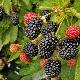 Бесшипная ежевика: лучшие сорта и тонкости выращивания