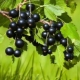 Черная смородина: полезные свойства и противопоказания, особенности применения