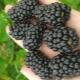 Ежевика «Бжезина»: характеристика и агротехника