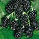 Ежевика «Торнфри»: описание сорта и правила выращивания