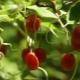 Гуми: свойства, рецепты и рекомендации по выращиванию
