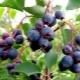 Ирга – что это за ягода и что можно из нее приготовить?