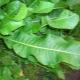 Как применять листья хрена при болезнях суставов и от отложения солей?