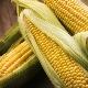 Как употреблять кукурузу при беременности и есть ли ограничения?