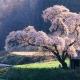 Как вырастить сакуру из семян?