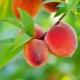 Какими свойствами обладают и как использовать листья персика?