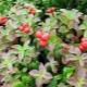 Клоповка: особенности, свойства и применение ягоды