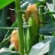 Кукурузные рыльца: польза и вред, способы применения
