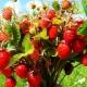 Лесные ягоды: названия, свойства и правила сбора