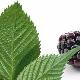 Листья ежевики: лечебные свойства, противопоказания и правила употребления