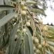 Лох узколистный: описание, свойства и выращивание