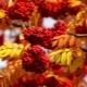 Описание, свойства и сбор осенних ягод