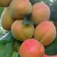 Особенности и выращивание колоновидных сортов персика
