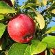 Особенности подкормки яблонь летом