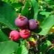 Особенности посадки ирги, ее выращивания и размножения
