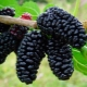 Особенности выращивания сортов шелковицы в Подмосковье