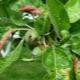 Причины появления красных листьев на яблоне и как это лечить?