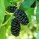 Шелковица черная: особенности сортов, свойства ягод и советы по выращиванию