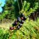 Шикша: описание ягоды и применение