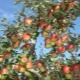 Тонкости обрезки фруктовых деревьев