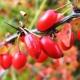 Ягодные кустарники: лучшие сорта и правила выращивания
