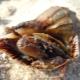 Черноморская рапана: описание, свойства и способы приготовления