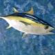 Что такое желтоперый тунец и как его готовить?