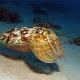 Каракатица: особенности, свойства и тонкости употребления