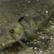 Ледяная рыба: описание, состав и калорийность, польза и вред
