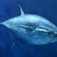 Засолка тунца в домашних условиях