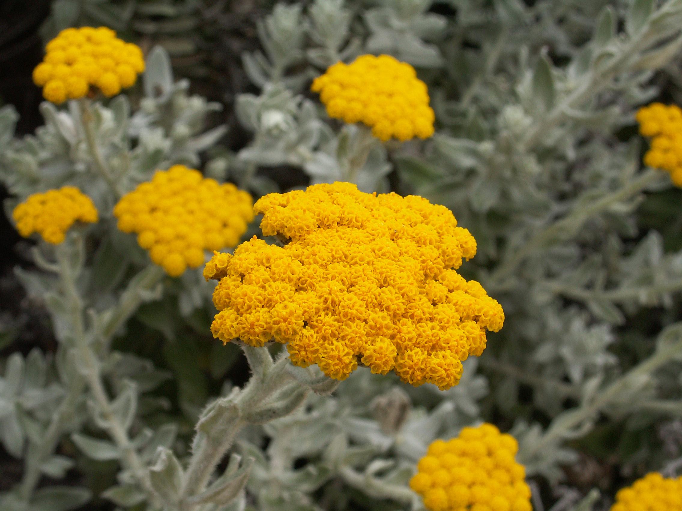 Цветы бессмертника песчаного лечебные свойства