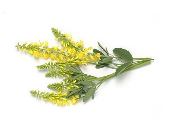 Донник лекарственный - полезные свойства травы, применение и противопоказания
