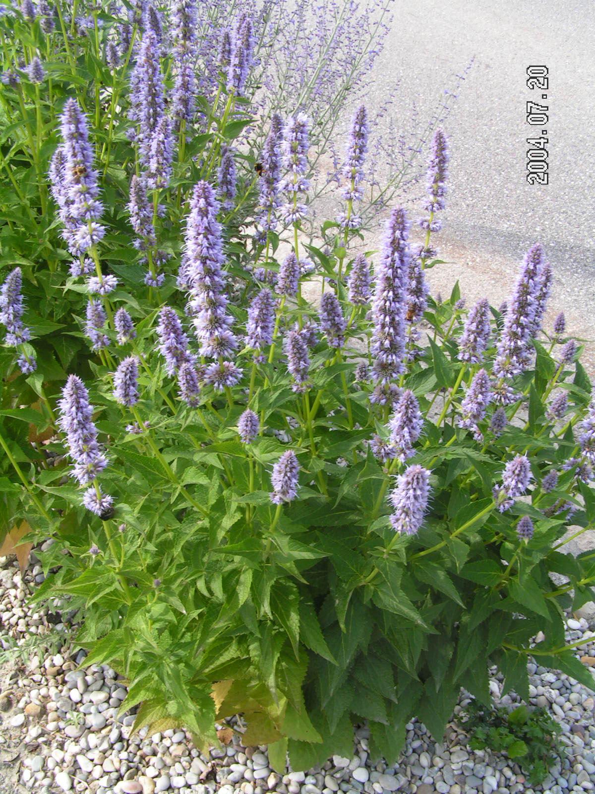 Иссоп лекарственный фото цветов