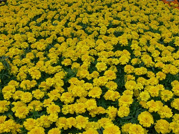 Однолетние цветы желтого цвета