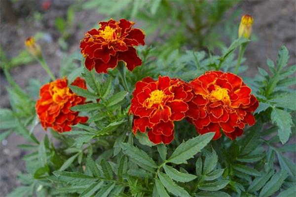картинки чорнобривці квіти