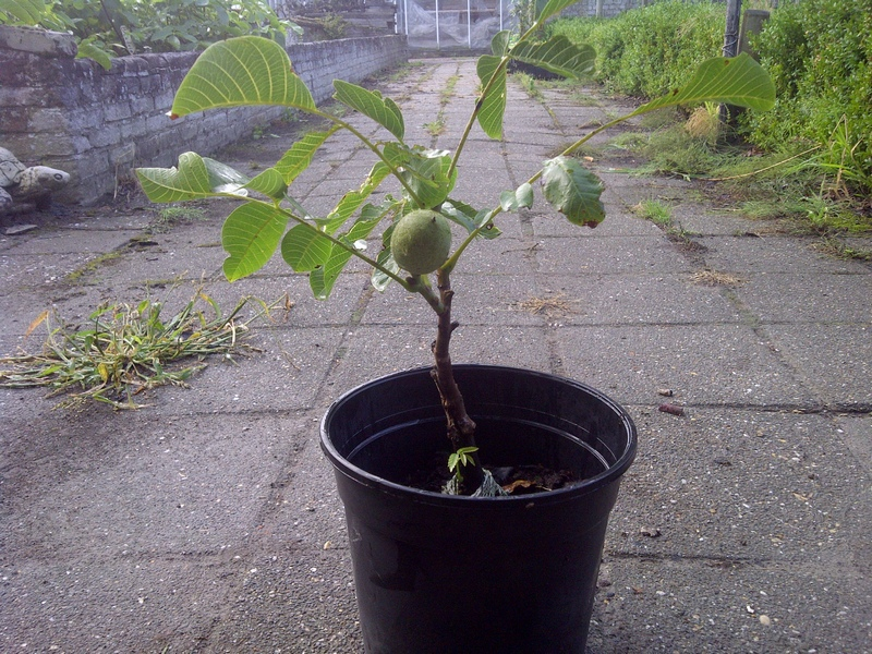 Выращивание фундука из семян в домашних условиях 3