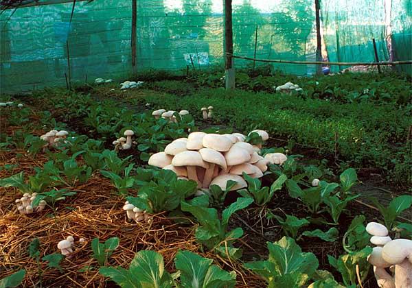 Разведении грибов в теплицах в домашних условиях