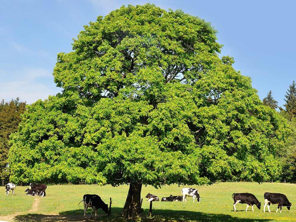 фото каштан дерево