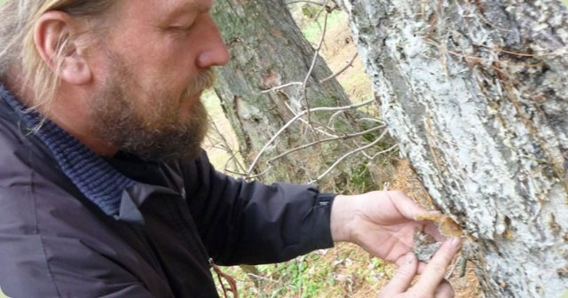 Полезные свойства живицы кедровой